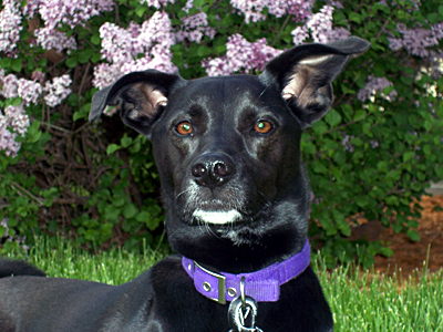 rat terrier labrador mix 301 moved permanently 9329
